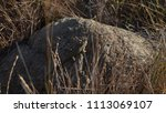 lizard on rock behind brush | Shutterstock . vector #1113069107