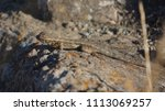 lizard on rock behind brush | Shutterstock . vector #1113069257