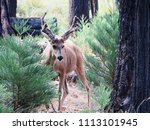 wildlife at mariposa grove of... | Shutterstock . vector #1113101945