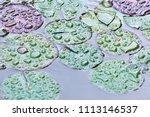 lotus flower leaves in the wild ... | Shutterstock . vector #1113146537