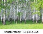 spring birch grove | Shutterstock . vector #111316265