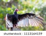 Turkey Vulture  Cathartes Aura...