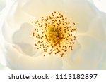 white rose flower stamen... | Shutterstock . vector #1113182897