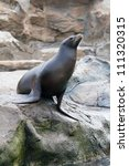 sea lion stands on the rock | Shutterstock . vector #111320315