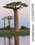 beautiful baobab trees at... | Shutterstock . vector #1113207359