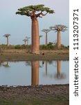 beautiful baobab trees at... | Shutterstock . vector #1113207371