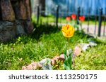 yellow tulip on a flowerbed in... | Shutterstock . vector #1113250175