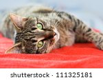 Stock photo cute cat relaxes and dreams on a bed 111325181