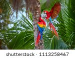 two ara macao  scarlet macaw ... | Shutterstock . vector #1113258467