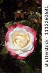 flowering red white english... | Shutterstock . vector #1113260681