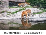 bengal tiger drinking water... | Shutterstock . vector #1113260954