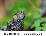 chipmunk  deep in a boreal... | Shutterstock . vector #1113303335