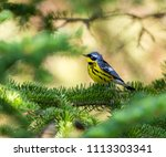 magnolia warbler perched deep... | Shutterstock . vector #1113303341