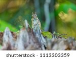 chipmunk  deep in a boreal... | Shutterstock . vector #1113303359
