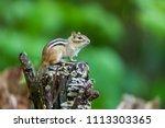 chipmunk  deep in a boreal... | Shutterstock . vector #1113303365