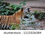 siberian tiger  panthera tigris ... | Shutterstock . vector #1113326384