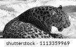 the amur leopard is a leopard...   Shutterstock . vector #1113359969