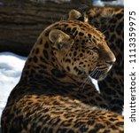 the amur leopard is a leopard...   Shutterstock . vector #1113359975