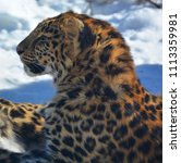 the amur leopard is a leopard...   Shutterstock . vector #1113359981