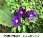 purple blooming flowers | Shutterstock . vector #1113398219