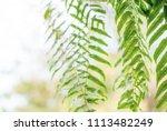 fresh green fern tree leaves... | Shutterstock . vector #1113482249