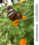 a butterfly and yellow blooming ... | Shutterstock . vector #1113513401