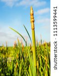 Mature Male Flower Spike Of...