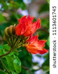 Small photo of Exotic African tulip tree, African tulip, fireball, flame of the forest, flame tree or fountain tree. Native to tropical Western Africa