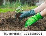 planting in the garden  hands... | Shutterstock . vector #1113608021