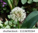 white allium  flowering onion
