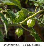 Fruit Of Physalis Peruviana In...