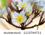 white and yellow plumeria on a... | Shutterstock . vector #1113764711