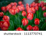 abstract of red tulips | Shutterstock . vector #1113770741