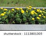 aztec marigolds bearing globose ... | Shutterstock . vector #1113801305