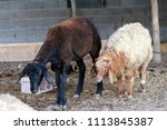 sheep for the feast of... | Shutterstock . vector #1113845387