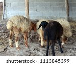 sheep for the feast of... | Shutterstock . vector #1113845399