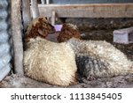 sheep for the feast of... | Shutterstock . vector #1113845405
