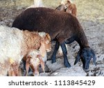 sheep for the feast of... | Shutterstock . vector #1113845429