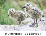 Seagull Nestlings