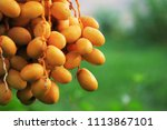 Fresh Dates From The Palm Tree...