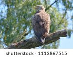 white tailed eagle  haliaeetus... | Shutterstock . vector #1113867515