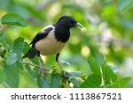 rosy starling  pastor roseus ... | Shutterstock . vector #1113867521