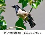 rosy starling  pastor roseus ... | Shutterstock . vector #1113867539