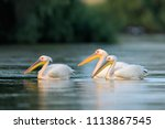 white pelicans on water in the... | Shutterstock . vector #1113867545