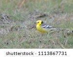 citrine wagtail   motacilla... | Shutterstock . vector #1113867731