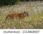 the siberian tiger  panthera... | Shutterstock . vector #1113868007