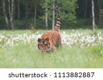 the siberian tiger  panthera... | Shutterstock . vector #1113882887