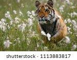 the siberian tiger  panthera... | Shutterstock . vector #1113883817
