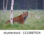 the siberian tiger  panthera... | Shutterstock . vector #1113887024
