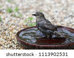 close up of a young starling... | Shutterstock . vector #1113902531